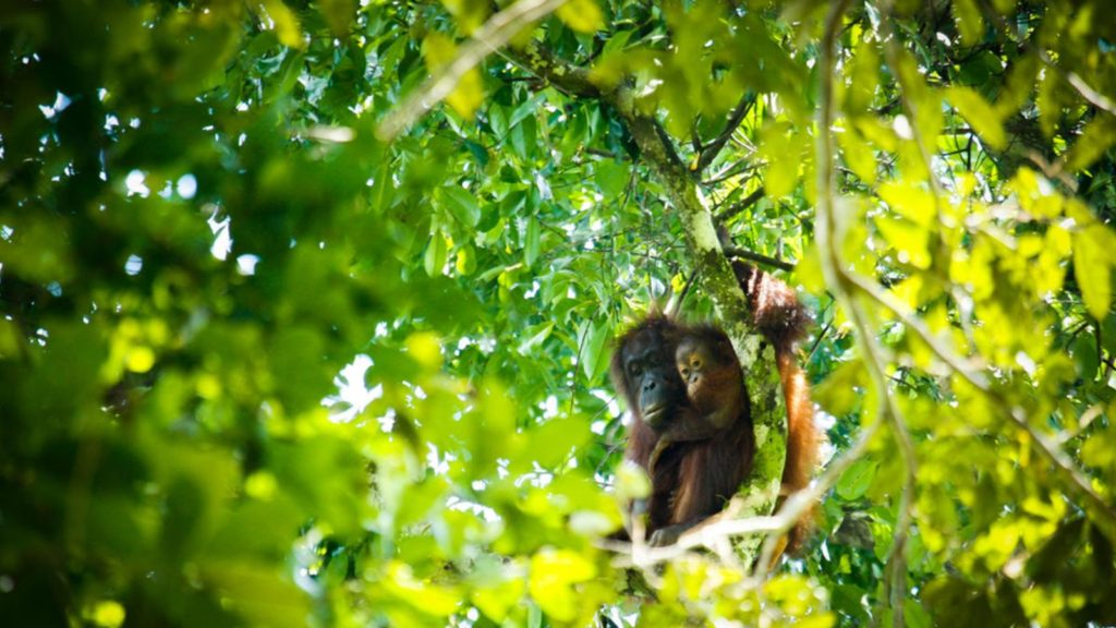 Star-spotting Technology will Count Orangutans in Borneo