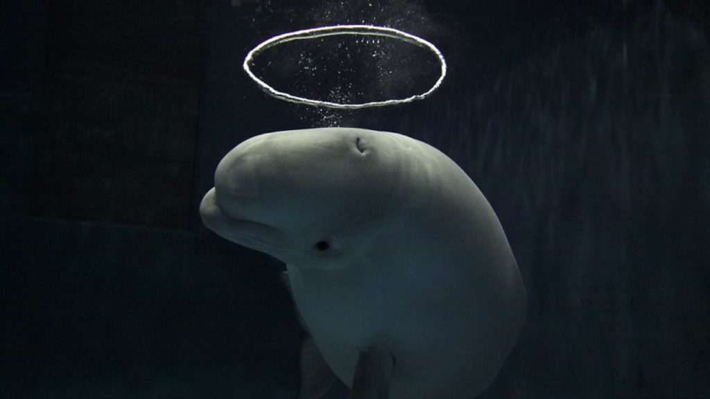 Bubble-blowing Belugas