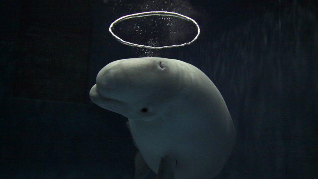 Bubble-blowing Belugas